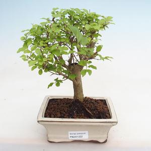 Indoor bonsai - Fraxinus angustifolia - Indoor Ash PB2191222
