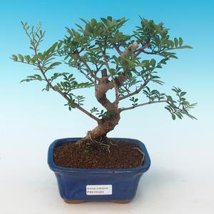 Indoor bonsai-Pistachio PB2191224