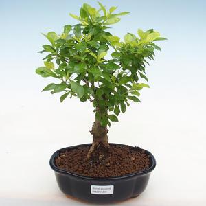 Indoor bonsai-Pistachio PB2191231
