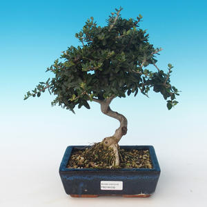 Indoor bonsai - Olea europaea sylvestris -Oliva European small leaf PB2191232