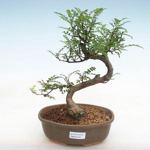 Indoor bonsai - Olea europaea sylvestris -Oliva European small leaf PB2191233