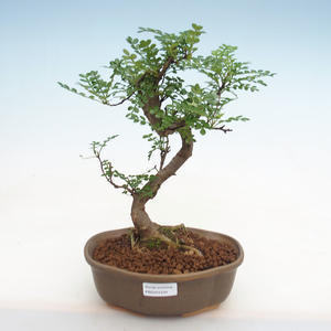 Indoor bonsai - Olea europaea sylvestris -Oliva European small leaf PB2191234