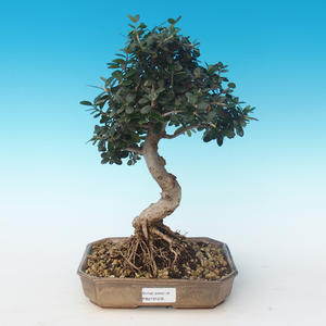 Indoor bonsai - Olea europaea sylvestris -Oliva European small leaf PB2191235