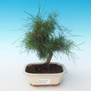 Indoor bonsai-Pinus halepensis-Aleppo pine 405-PB2191238
