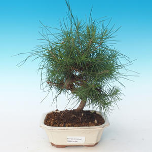 Indoor bonsai-Pinus halepensis-Aleppo Pine 405-PB2191241