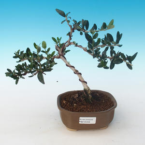Indoor bonsai - Olea europaea sylvestris -Oliva European small leaf PB2191246