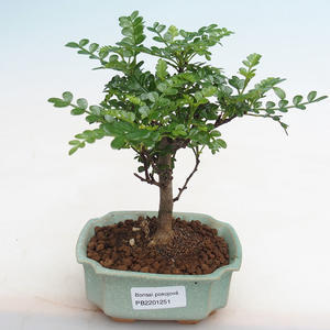 Indoor bonsai - Ulmus parvifolia - Small leaf elm 405-PB2191251
