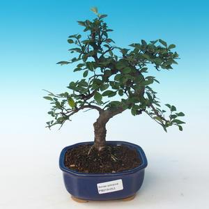 Indoor bonsai - Ulmus parvifolia - Small leaf elm 405-PB2191253