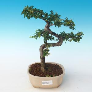 Indoor bonsai - Ulmus parvifolia - Small leaf elm 405-PB2191254