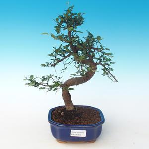 Indoor bonsai - Ulmus parvifolia - Small leaf elm 405-PB2191256