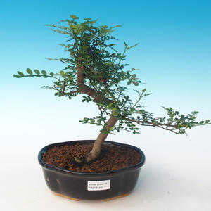 Indoor bonsai - Zantoxylum piperitum - Pepper tree PB2191263