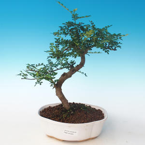 Indoor bonsai - Zantoxylum piperitum - Pepper tree PB2191264