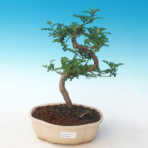 Indoor bonsai - Zantoxylum piperitum - Pepper tree PB2191265