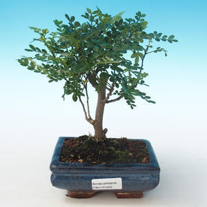 Indoor bonsai - Zantoxylum piperitum - Pepper tree PB2191269