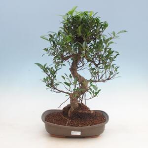 Pokojová bonsai - Ficus kimmen -  malolistý fíkus