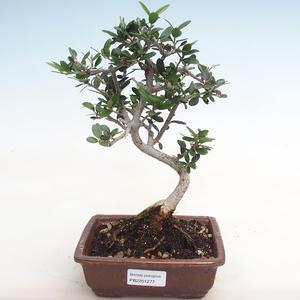 Indoor bonsai-Ulmus Parvifolia-Small leaf elm PB2191277