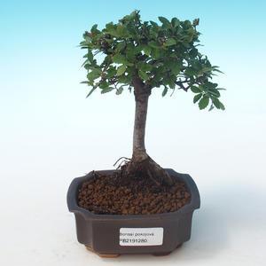 Indoor bonsai-Ulmus Parvifolia-Small leaf elm PB2191280