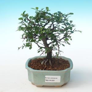 Indoor bonsai-Ulmus Parvifolia-Small leaf elm PB2191281