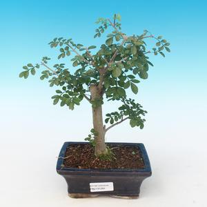 Indoor bonsai - Fraxinus uhdeii - Indoor Ash PB2191284