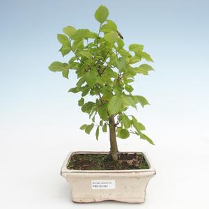 Indoor bonsai - Celtis chinensis - hackberry PB2191481
