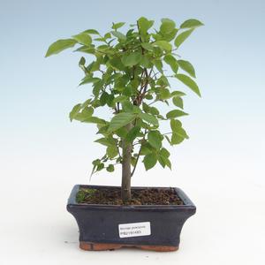 Indoor bonsai - Celtis chinensis - hackberry PB2191483