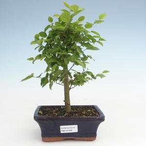 Indoor bonsai - Celtis chinensis - hackberry PB2191485