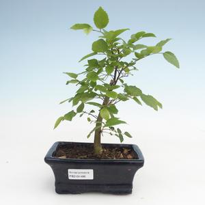 Indoor bonsai - Celtis chinensis - hackberry PB2191486