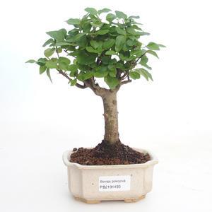 Indoor bonsai -Ligustrum chinensis - Privet PB2191493