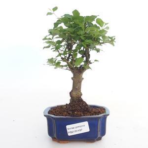 Indoor bonsai -Ligustrum chinensis - Privet PB2191497