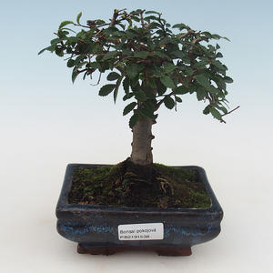 Indoor bonsai - Ulmus Parvifolia-Small leaf elm PB2191538