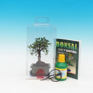Room bonsai in a gift box
