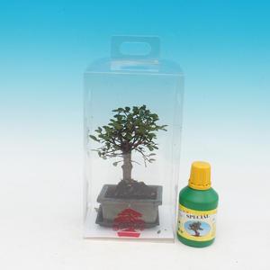 Room bonsai in a gift box, Parvifloria Ulmus - Elm Chinese