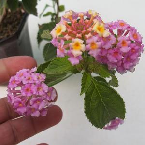 Room bonsai-Lantana camara-Libora variable