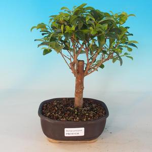 Room Bonsai - Australian cherry - Eugenia uniflora