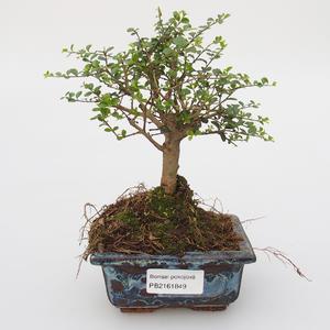 Room bonsai -Ligustrum retusa - small-sized bird's eye