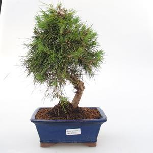 Room bonsai-Pinus halepensis-Aleppo Pine