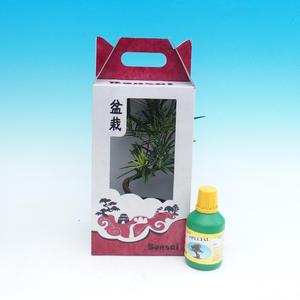 Room bonsai in a gift box, Podocarpus - Stone thousand