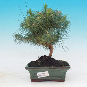 Room bonsai-Pinus halepensis-Aleppo Pine