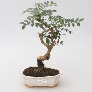 Room Bonsai - Pistachio