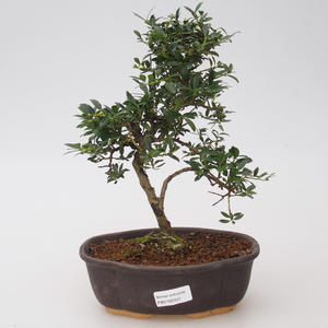 Room bonsai - Ilex crenata - Holly