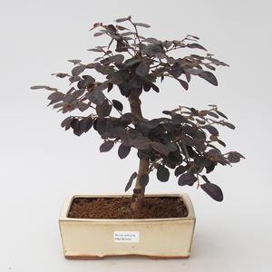 Room bonsai - Loropelatum chinensis