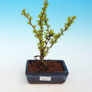 Outdoor bonsai - Berberis thunbergii - Barberry