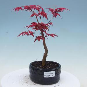 Room bonsai - Zantoxylum piperitum - Pepřovník