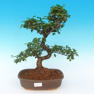 Room bonsai -Ligustrum chinensis - privet