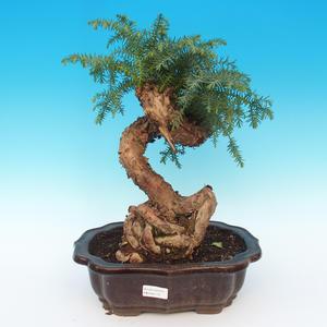 Araukarie - room spruce