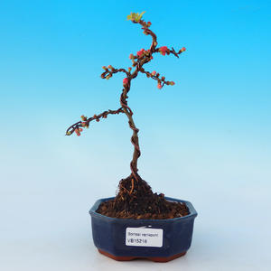 Outdoor bonsai - Chaneomeles with. Red Joy - Quince