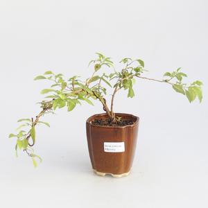 Room bonsai - Mustard-Solanum rantonnetii
