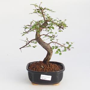 Room bonsai - Ulmus parvifolia - Lesser Elm