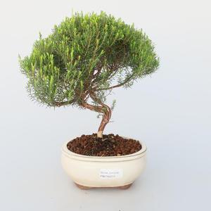 Room bonsai - Coleonema - Koleonema