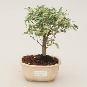 Room bonsai -Ligustrum variegata - Bird's eye